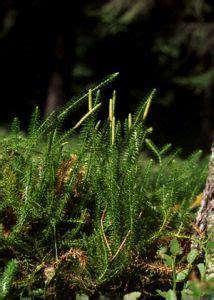 gada staipeknis - Lycopodium annotinum L. - Augi - Latvijas daba