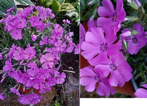 Ziemcietes - Floksis aslapu 'Spring Purple' (syn ...