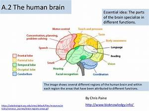 Parts Of The Brain And Functions Diagram