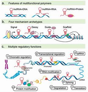 Lncrna Functions   A  Lncrnas Can Bind Dna  Rna  And