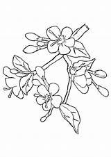 Coloring Blossom Cherry Tree Mewarnai Sakura Japanese Bunga Gambar Drawing Sketsa Flowers Template Blossoms Terbaru Putih Hitam Trees Sketch Japan sketch template