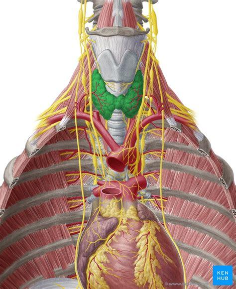 thyroid gland anatomy  hyperthyroidism kenhub