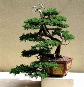 Pflege Von Bonsai Bäumchen : bonsai pflegen bonsai baum kaufen und richtig pflegen einige wertvolle bonsai pflege ~ Sanjose-hotels-ca.com Haus und Dekorationen