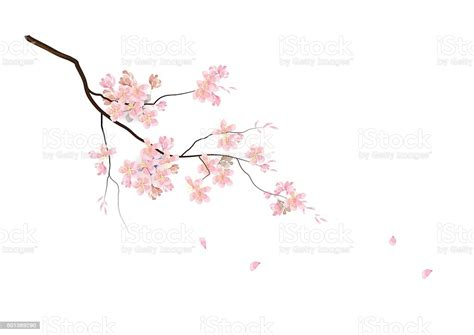 Cherry Blossom Flowers With Branch Pink Color Watercolor