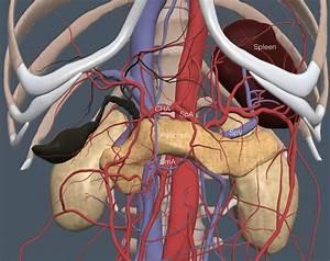 Pancreas Stomach Spleen
