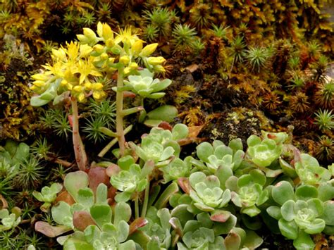 sedum succulent sedum spathulifolium broadleaf stonecrop world of succulents
