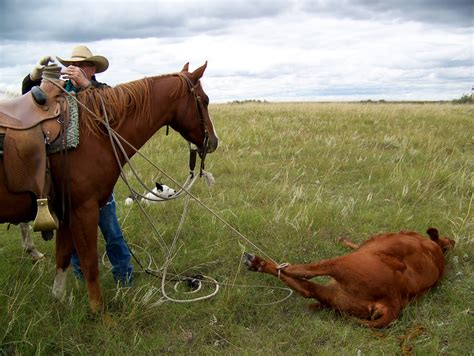 horse cow calf cows chasing cowboy rot foot warning little cowgirl loves well he