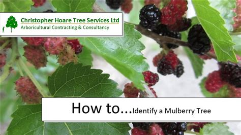 How To Identify A Mulberry Tree Youtube