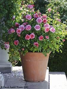 Kübel Bepflanzen Winterhart : rosen in topf und k bel pflegen gartentr ume ~ Michelbontemps.com Haus und Dekorationen