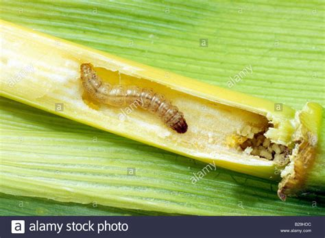 http://www.alamy.com/stock-photo-european-corn-borer-ostrinia-nubilalis-larva-in-maize-corn-stalk-18650952.html