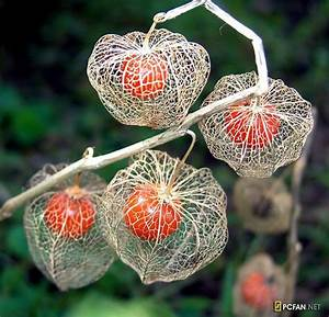 The Chinese Lantern plant is so pretty. The unripened seed ...