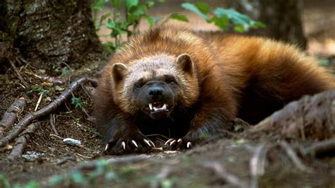 As a Picture of a Wolverine Animal