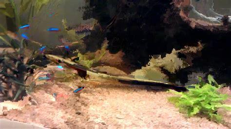 anguille aquarium eau douce aquarium eau douce avec anguille