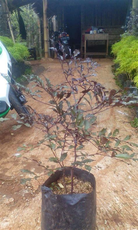 tukang taman murah jual pohon lea ungu tukang taman