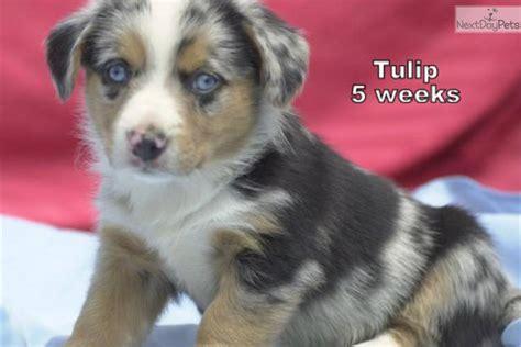 welsh corgi cardigan puppy  sale  dallas fort