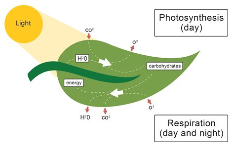 photosynthesis whats in a leaf theleaf co