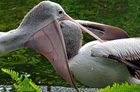 le de poche pelican la symbolique du p 233 lican lieux sacr 233 s