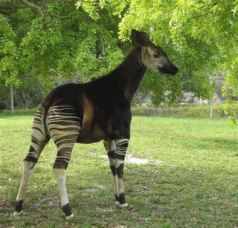 The Okapi (okapia Johnstoni)  Pgcps Mess Reform