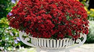 Blumen Für Schatten : elfenspiegel nemesia richtige pflege f r die blumen ~ Whattoseeinmadrid.com Haus und Dekorationen