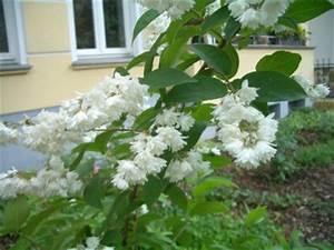Weiß Blühender Strauch : bl hender strauch wie heisse ich deutzie ~ Lizthompson.info Haus und Dekorationen