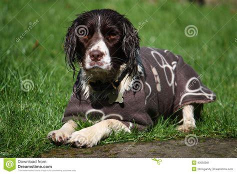 springer spaniel coat shedding a working type springer spaniel pet gundog wearing