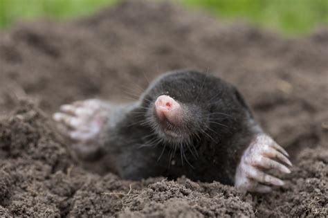 what is a vole mole vole control in maryland bog pest control