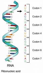 Bolo Biology Newsletter Archive  Codons  Anticodons