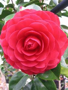Camellia Japonica Winterhart : camellia japonica 39 red red rose 39 warners nurseries ~ Eleganceandgraceweddings.com Haus und Dekorationen