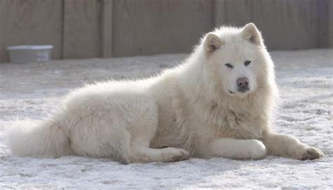 Alaskan Malamute Price, Colors, Size, Characteristic ...