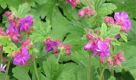plantes vivaces couvre sol pour lombre seche