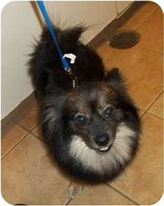 Mia-GORGEOUS | Adopted Dog | Oak Ridge, NJ | Pomeranian ...