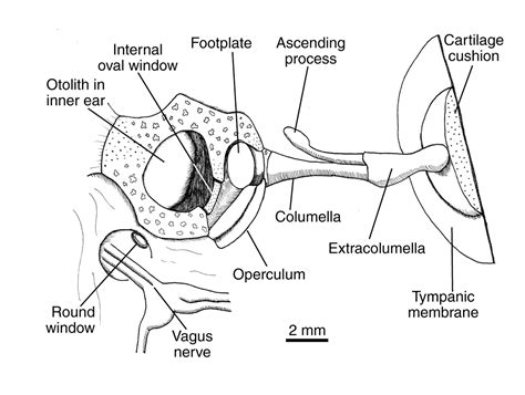 function   sexually dimorphic ear   american