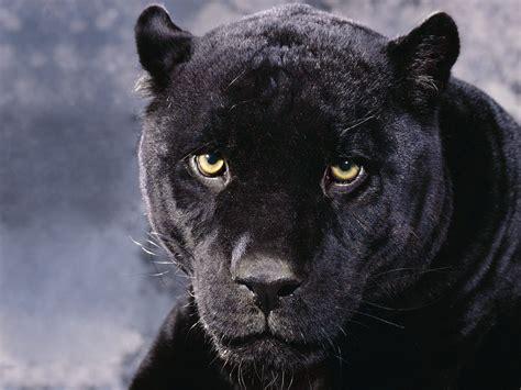 Big Black Panther Wallpaper Wallpapers