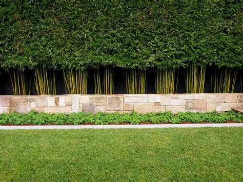 plant privacy screen slender weaver bamboo outsides pinterest gardens landscaping and plants