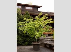 Japanese Maples Planting, Growing and Care Tips HGTV