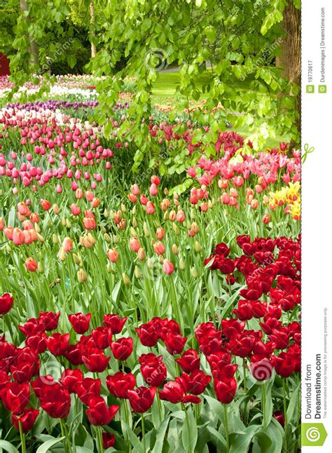 tulip flower garden free stock keukenhof tulip gardens royalty free stock image cartoondealer com 42311482