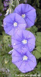Rhododendron Blaue Mauritius : bild blaue mauritius convolvulus sabatius foto blaue bl ten ~ Lizthompson.info Haus und Dekorationen