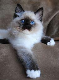 Siamese Kitten Blue Eyes