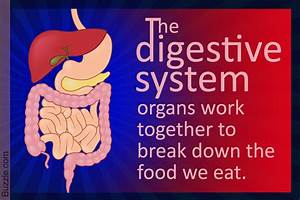 Diagram Of The Digestive System And An Explanation Of Its