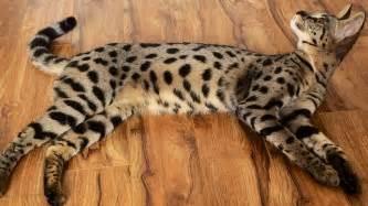 cat f1 cat f1 what is f1 cat grown size
