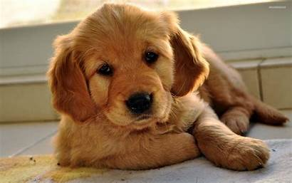 Retriever Golden Puppy Sitting Dog Awesome