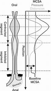 Schematic Of Contraction And Distension During Swallow