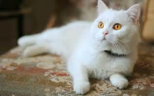 white cat white cat with yellow 2560 x 1600 animals