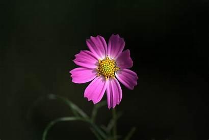 Pink Cosmos Petals Flower Definition