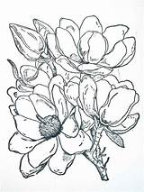 Magnolia Coloring Flower Flowers Corner Colored Magnolias Drawings Printable Tattoo Happenings Frantic Stamper Designlooter Colors Ink Recommended 1013 Southern 38kb sketch template