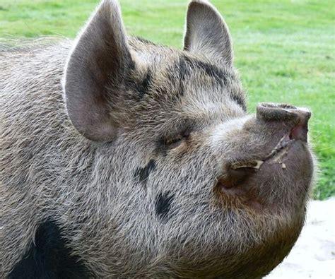 kunekune pig kunekune pig at edinburghzoo pigs pinterest