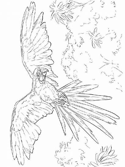 Macaw Coloring Pages Birds Printable Recommended