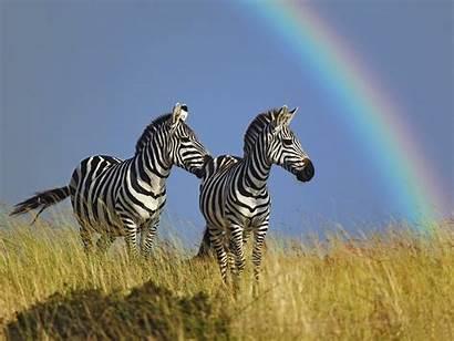 Zebra Zebras Wallpapers Definition Desktop Background Animal