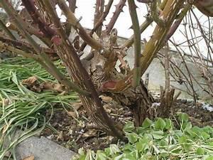 Rosen Schneiden Frühling : verholzen von rosen abh ngig von was mein sch ner garten forum ~ Watch28wear.com Haus und Dekorationen