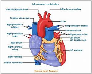 Human Heart Diagrams